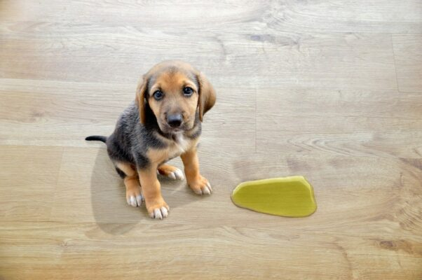 hund som tisser på gulv
