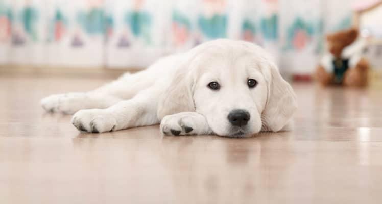 hvit hund på gulv 2